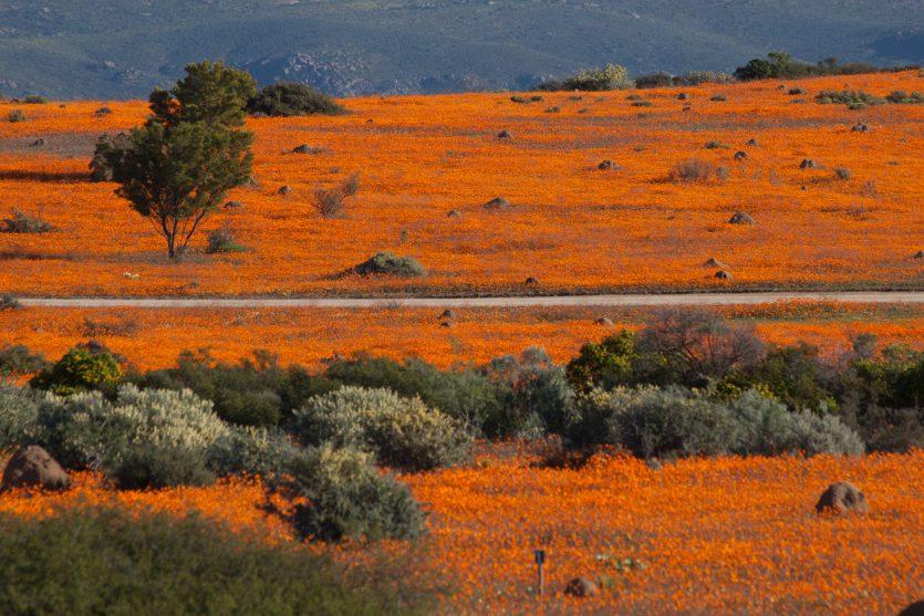 Namaqualand bluehend